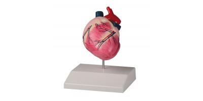 Anatomisch Model Hondenhart