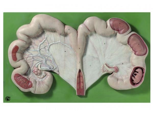Baarmoeder Model Varken met Foetus