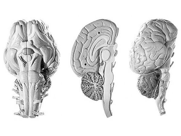 Brein Model Paard