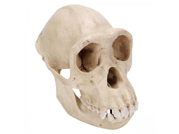 Chimpansee Schedel Replica (Vrouw)