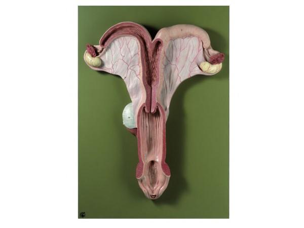 Genitale Organen Model Merrie