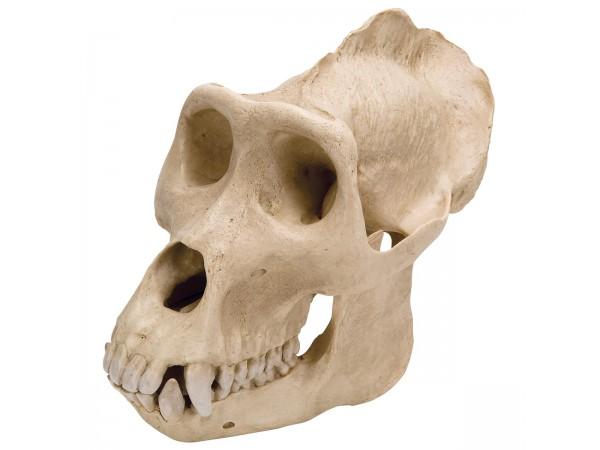 Gorilla Schedel Replica (Man)