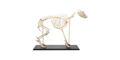 Hondenskelet Model Maat L