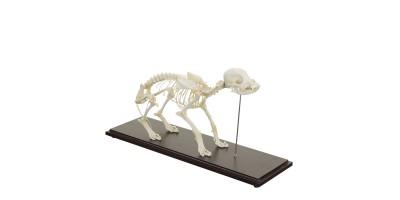 Honden Skelet Model
