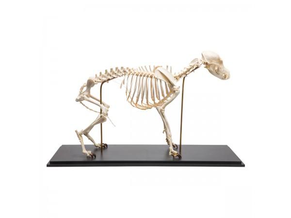 Hondenskelet Model Maat M