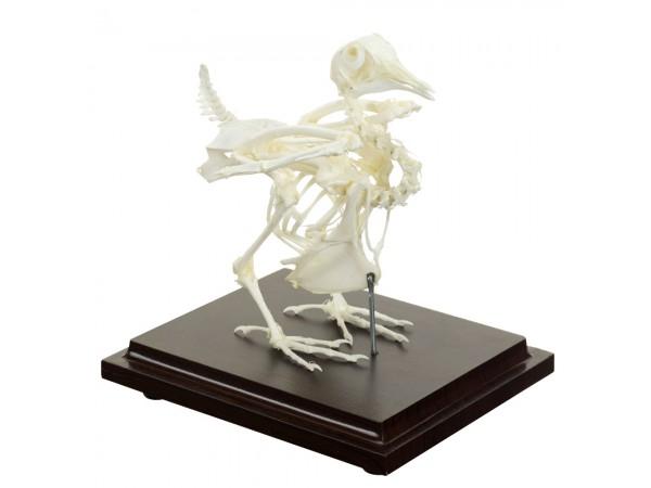 Duiven Skelet Model