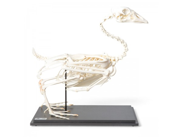 Ganzen Skelet Model