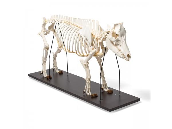 Mannelijk Varken Skelet Model