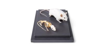 Muis en Muis Skelet Model