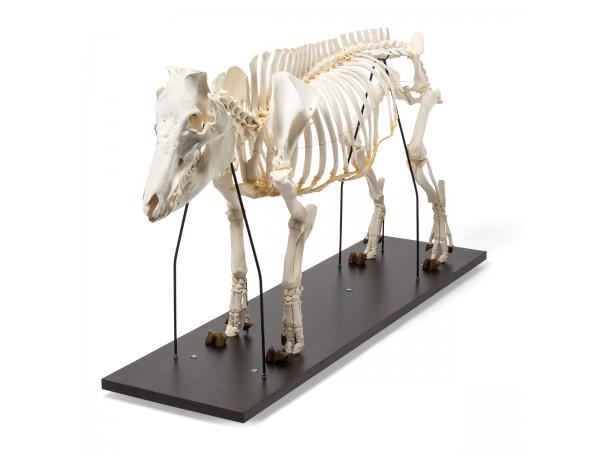 Vrouwelijk Varken Skelet Model