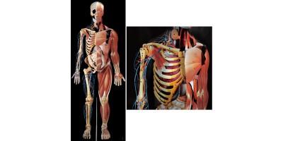 Driedimensionale Anatomie Poster