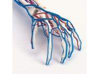 Vasculair Arm Model