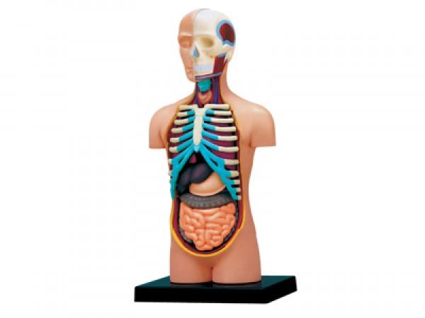 4D Anatomie Torso, 32-delig, 12 cm