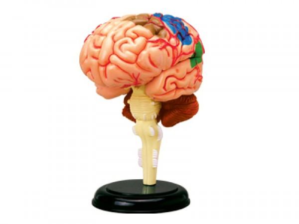 4D Anatomie Hersenen, 32-delig, 9 cm