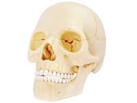 4D Anatomie Schedel, 17-delig, 15 cm