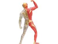 4D Anatomie Spieren en Bloedvaten, 46-delig, 18 cm
