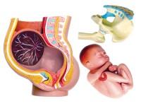 4D Anatomie Zwangerschap, 27-delig, 10 cm