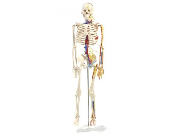 Mini Skelet Model met Zenuwen en Bloedvaten