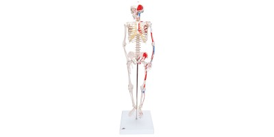 Mini Skelet 80 cm, met spieraanduiding