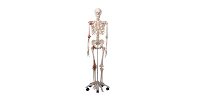 Skeletmodel met Ligamenten