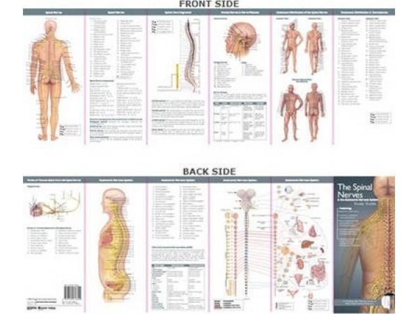 Spinale Zenuwen Studiegids