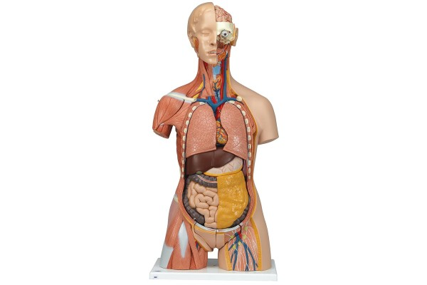 Anatomische Modellen Mens