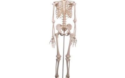 Gehele skeletten
