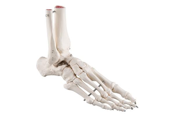 Gedeeltes van het Skelet