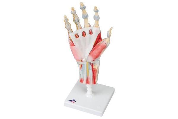 Hand & Pols