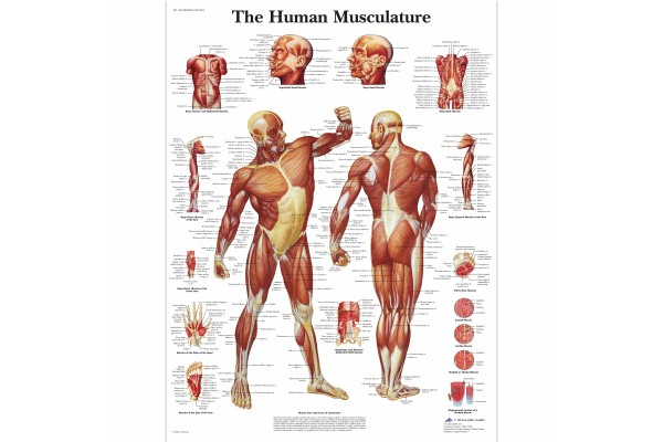 Anatomie Posters Mens