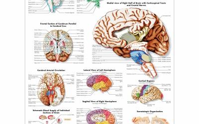 Hersenen & Zenuwstelsel