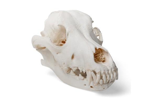 Anatomische Modellen Dier